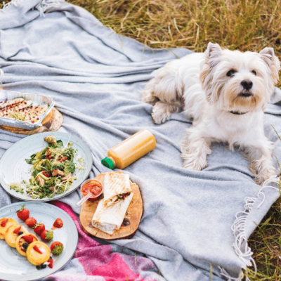 close-up-cute-little-dog-lying-on-picnic-blanket-3EGS92Y