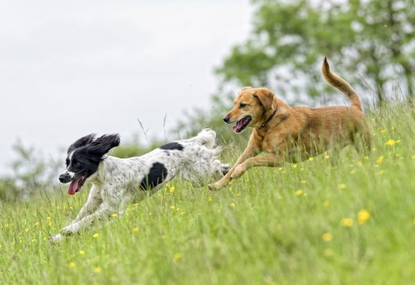 Two dogs playing in a springtime meadow