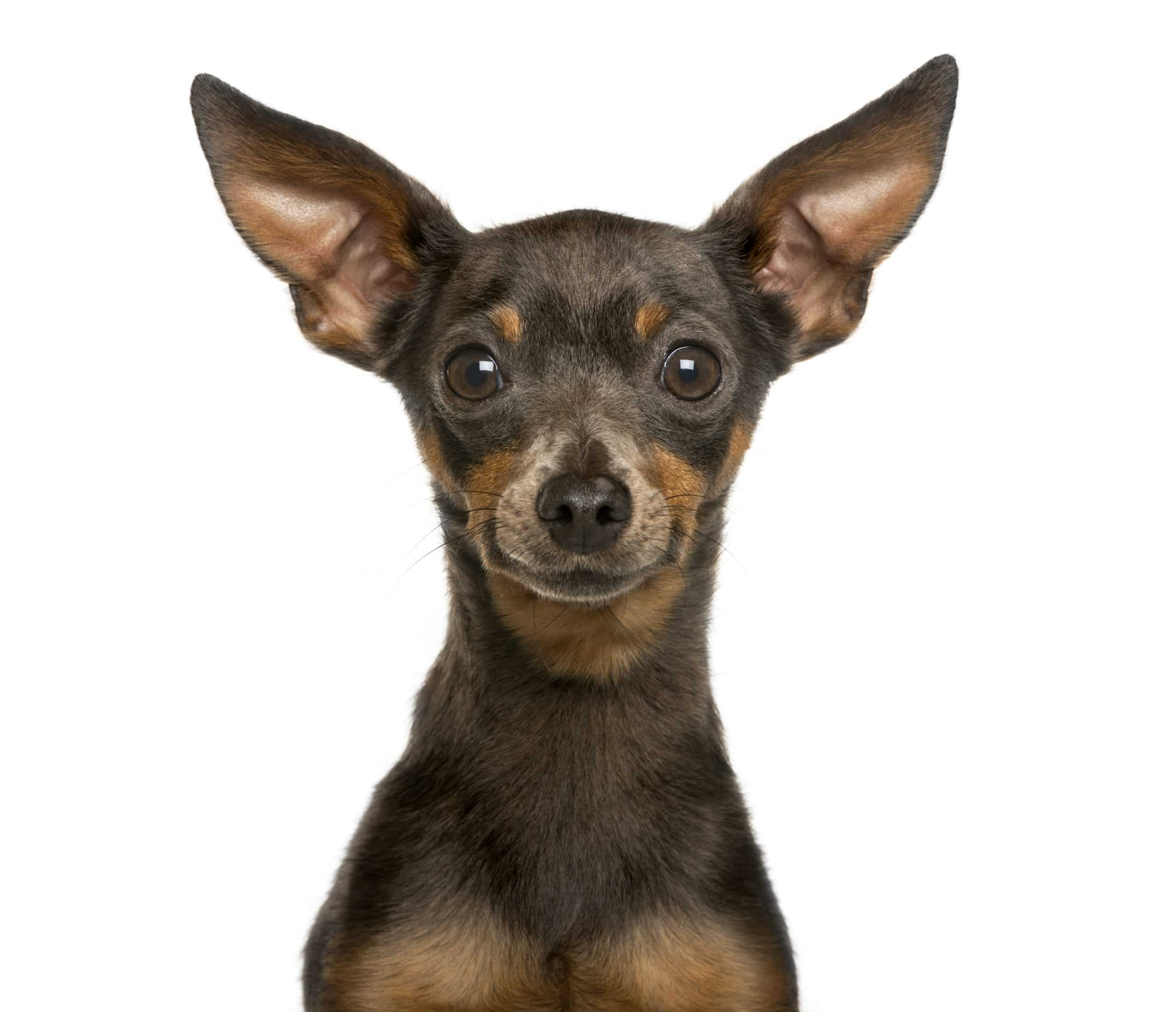 Close-up of a Miniature Pinscher in front of white background